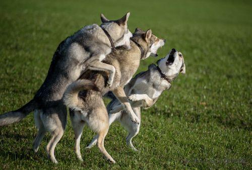 hunde zusammenführen die sich gebissen haben